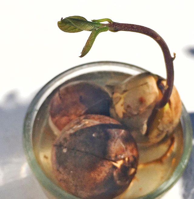 Hello Avo. #avo #avocado #plants #avolove #bailgun #magazine